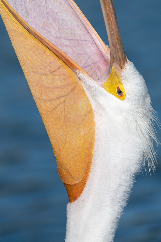 American-White-Pelican-tight-head-throw-_BUP8835-Lakeland,-FL