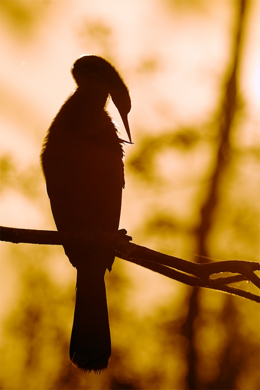 Anhinga-backlit-preening-at-sunrise-_W5A2119-Gatorland,-Kissimmee,-FL