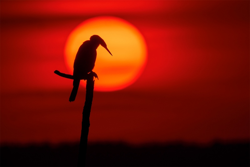 Anhinga-looking-down-at-sunset-_DSC6247-Indian-Lake-Estates-FL-1