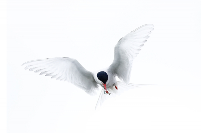 Arctic-Tern-with-sand-eel-for-young-_P3A9621-islands-off-Seahouses,-UK