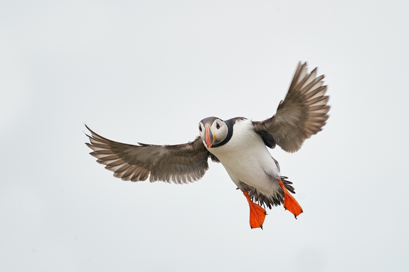 Atlantic-Puffin-braking-to-land-_A9A3170-Seahouses-UK-1