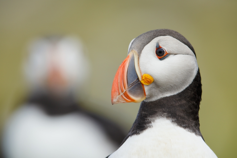 Atlantic-Puffin-head-juxtaposition-_W5A2553-islands-off-Seahouses,-UK