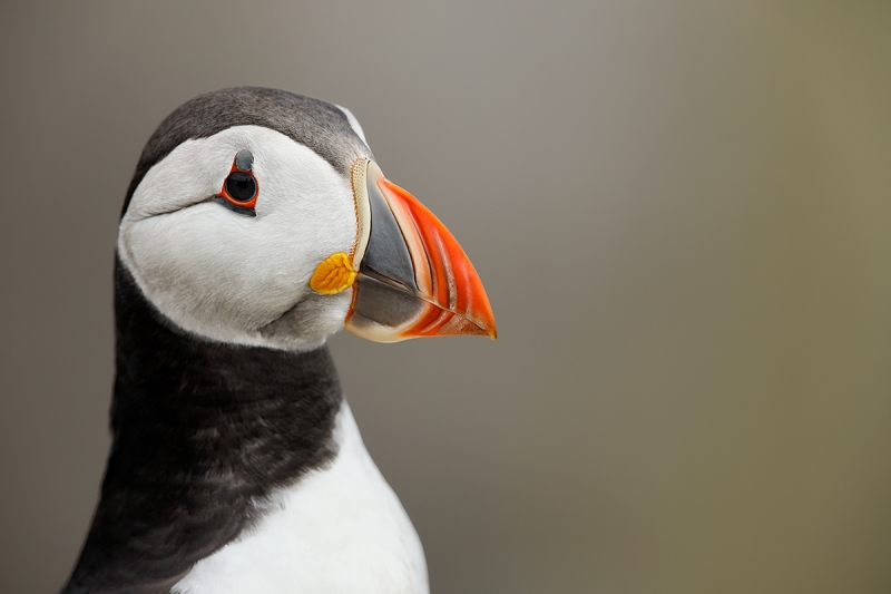 Atlantic-Puffin-head-portrait-_W5A3653-islands-off-Seahouses,-UK