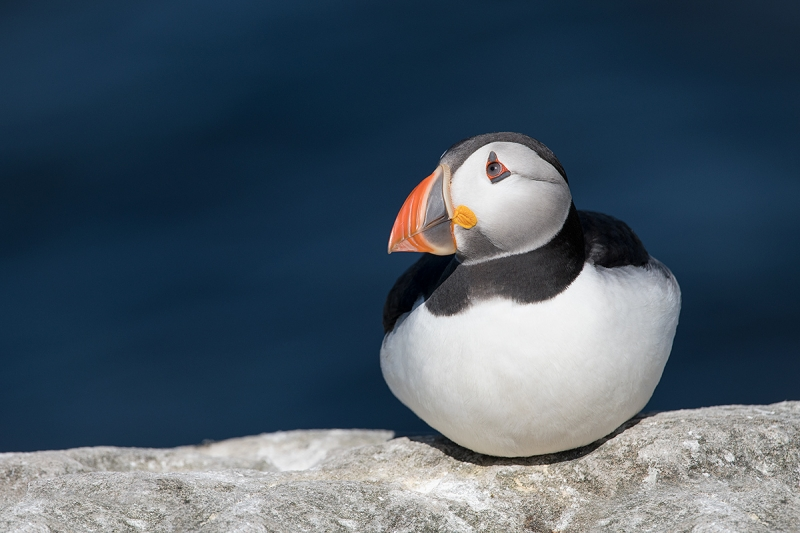 Atlantic-Puffin-in-brigh-sun-_BUP2581islands-off-Seahouses,-UK