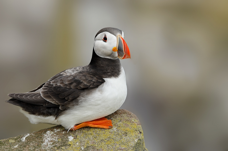 Atlantic-Puffin-on-rock-_W5A3671-islands-off-Seahouses,-UK