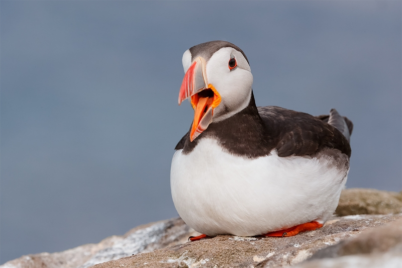 Atlantic-Puffin-w-bill-open-_Y5O4423--Islands-off-Seahouses,-UK