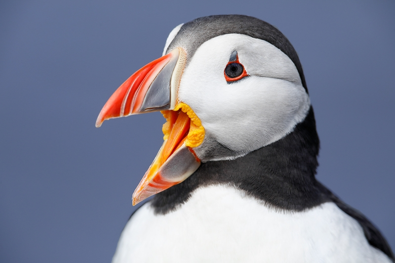 Atlantic-Puffin-with-bill-open-_P3A0930-islands-off-Seahouses,-UK