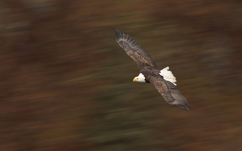 Bald-Eagle-1-30-pan-blur-_W3C4176-Homer-AK