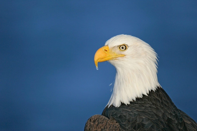 Bald-Eagle-AD-w-ice-on-bill-tip-_H2D5142-Homer-AK