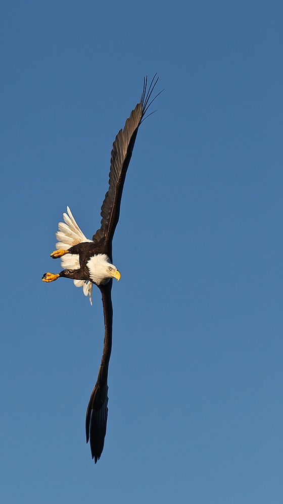 Bald-Eagle-VEERT-banking-dive-_Y9C5927-near-Homer-AK