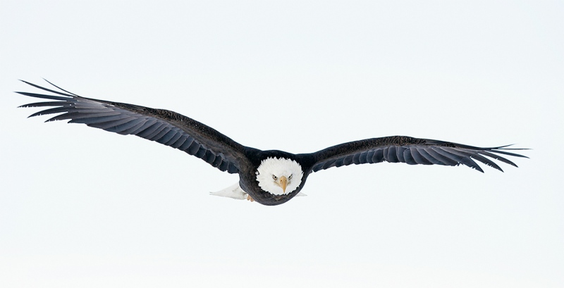 Bald-Eagle-a-head-on-flat-flight-_T9J1718-Homer-AK