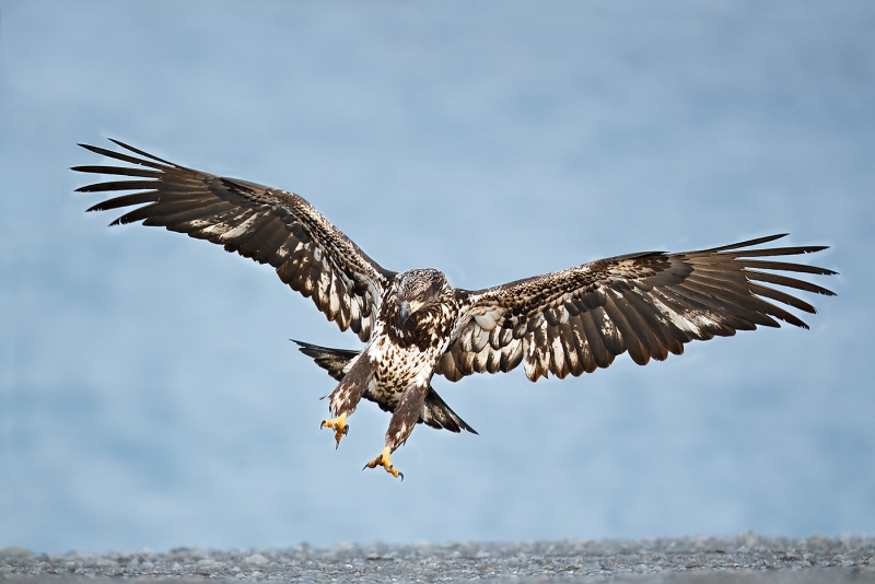 Bald-Eagle-immature-landing-on-spit-_W3C5840-near-Homer-AK