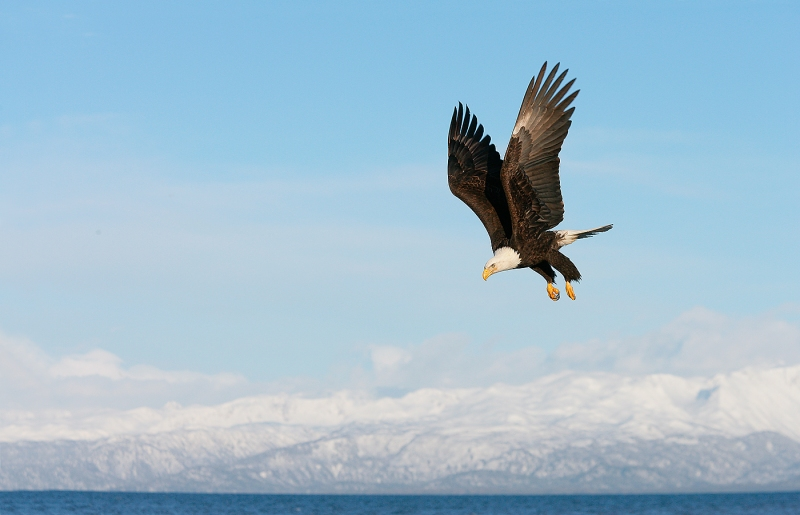 Bald-Eagle-over-mountains-YL8X0296-Homer-Alaska
