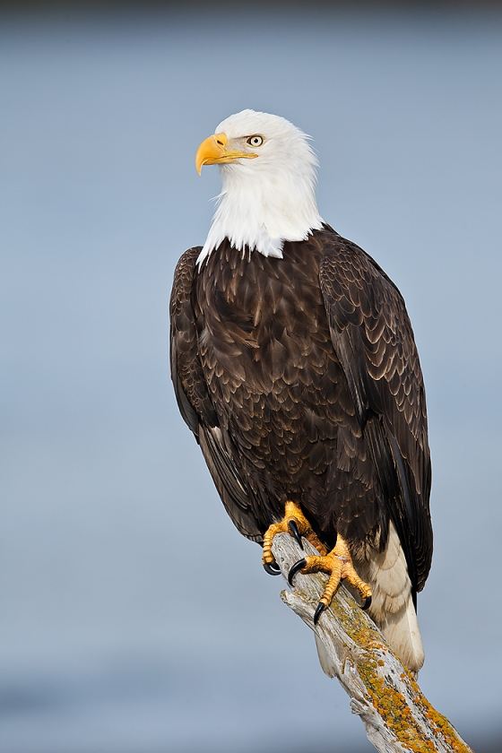 Bald-Eagle-perched-DARK-FEATHER-REMOVED-BLUE-water-BKGR-_W3C4511-near-Homer-AK-copy
