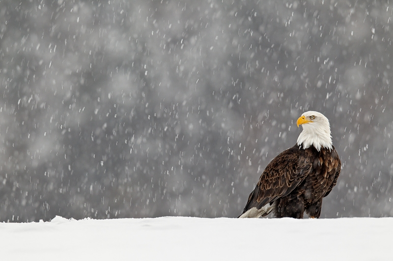 Bald-Eagle-perched-on-snow-bank-in-snow-_Y9C7038-Homer-AK