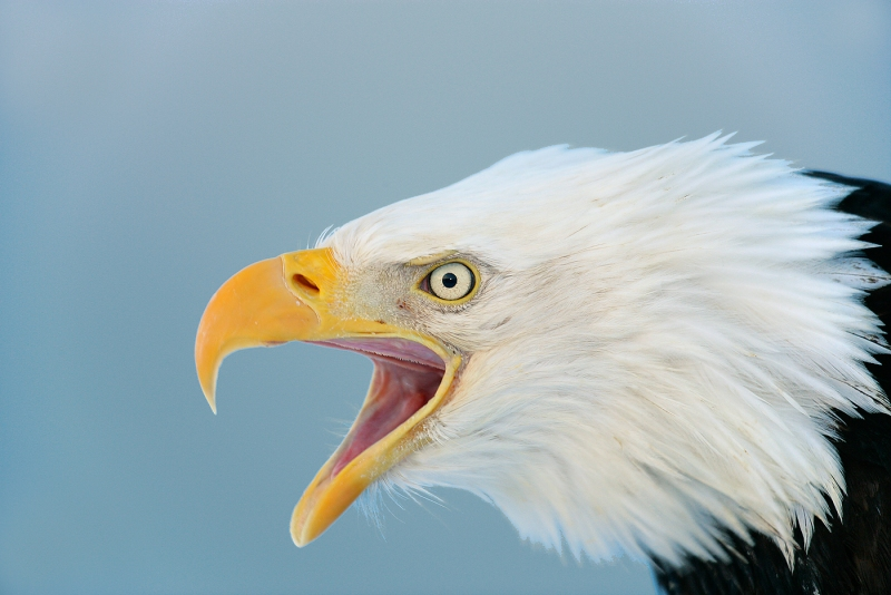 Bald-Eagle-screaming-blue-sky-VIGN-YL8X9582-Homer-Aslaska