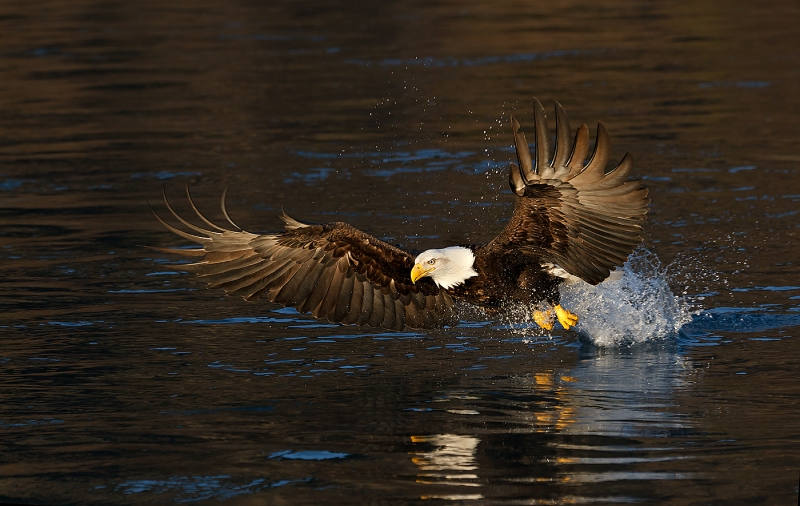 Bald-Eagle-striking-Black-Water-_Y9C6242-near-Homer-AK