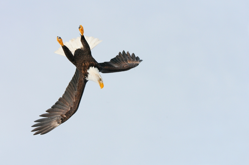 Bald-Eagle-upside-down-dive-start-YL8X9673-Homer-Aslaska