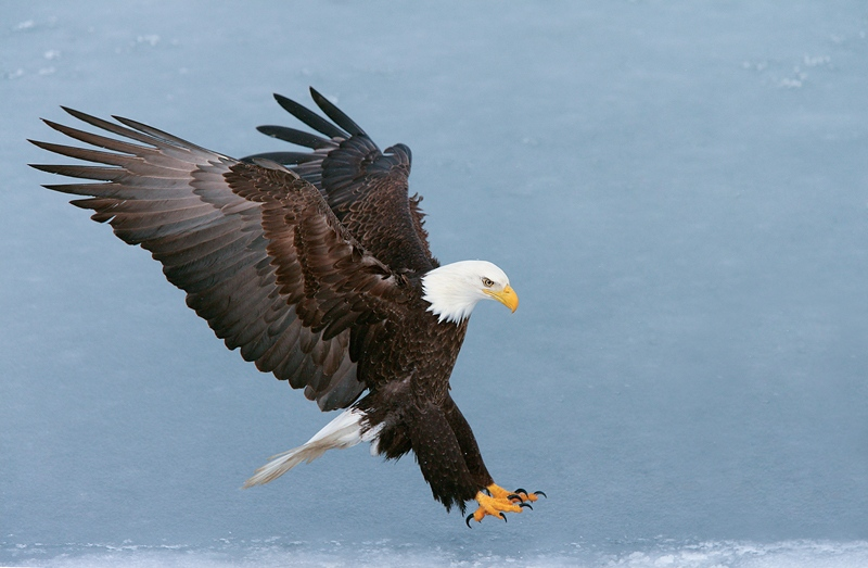 BaldEagle-YELLOW-OUT-landing-feet-out-wings-back-YL8X9927-Homer-Alaska