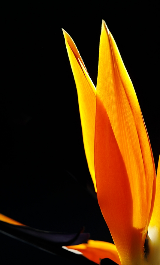 Bird-of-Paradise-backlit-blossom-_P3A9020-Ojai,-CA--