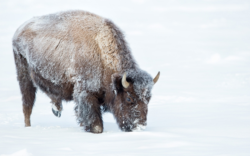 Bison-gazing-in-the-snow_B8R6123-Yellowstone-National-Park,-WY,-USA