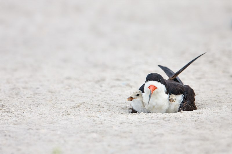 Black-Skimmer-brooding-to-chicks-_BUP9531-Nickerson-Beach-Park-Lido-Beach-Long-Island-MY-1