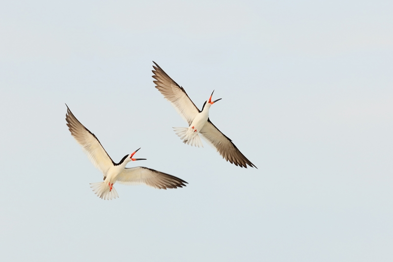 Black-Skimmers-battling-white-sky-wing-replacement-DARKER-_Y7O0452--Nickerson-Beach,-LI,-NYA