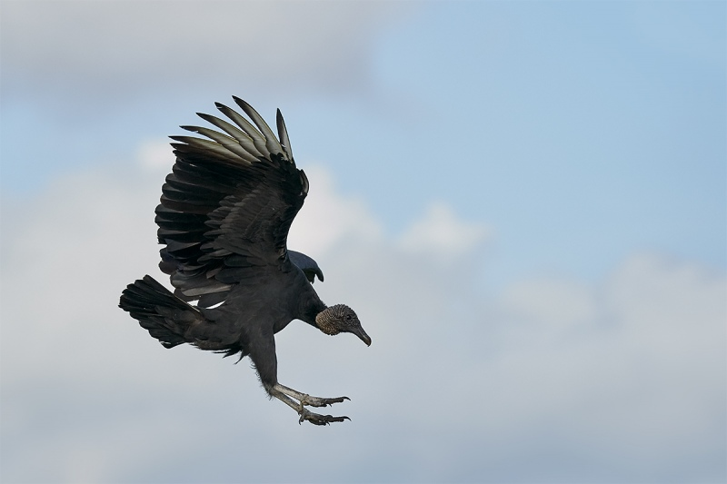 Black-Vulture-braking-to-land-_DSC7142-Indian-Lake-Estates-FL-1