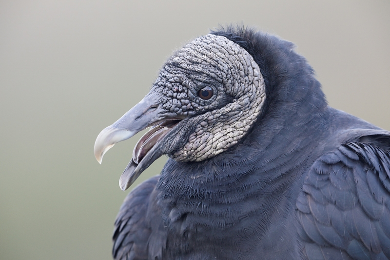 Black-Vulture-laughing