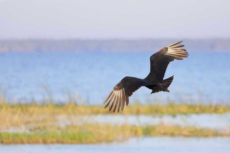 Black-Vulture-over-lake-_P3A0930--Indian-Lake-Estates,-FL