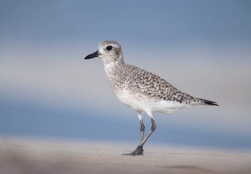 Black-bellied-Plover-basic-plumage-_MAI7528Fort-DeSoto-Park,-Tierra-Verde,-FL