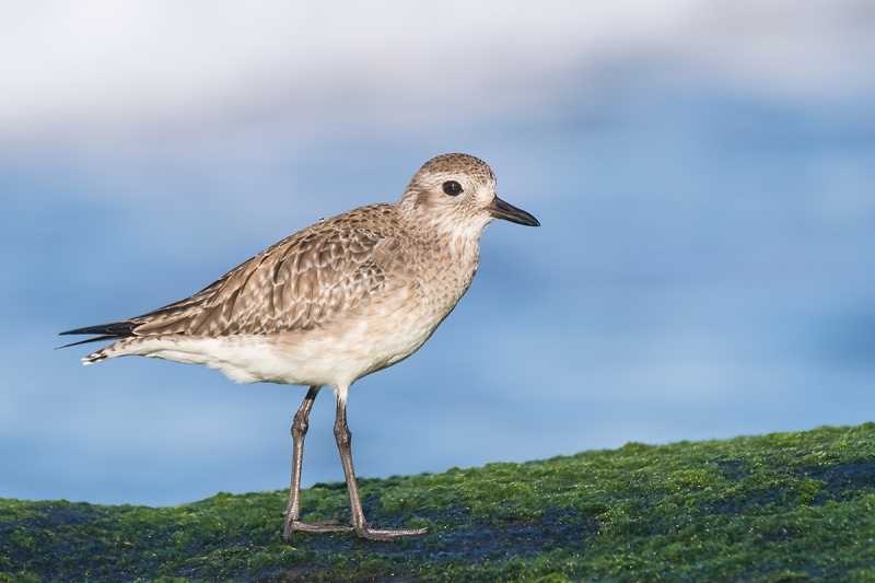 Black-bellied-Plover-winter-plumage-_DSF2571-La-Jolla,-CA