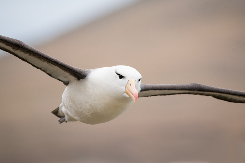 Black-browed-Albatross-tight-flight-_MAI7582-The-Neck,-Saunders-Island,-Falklands