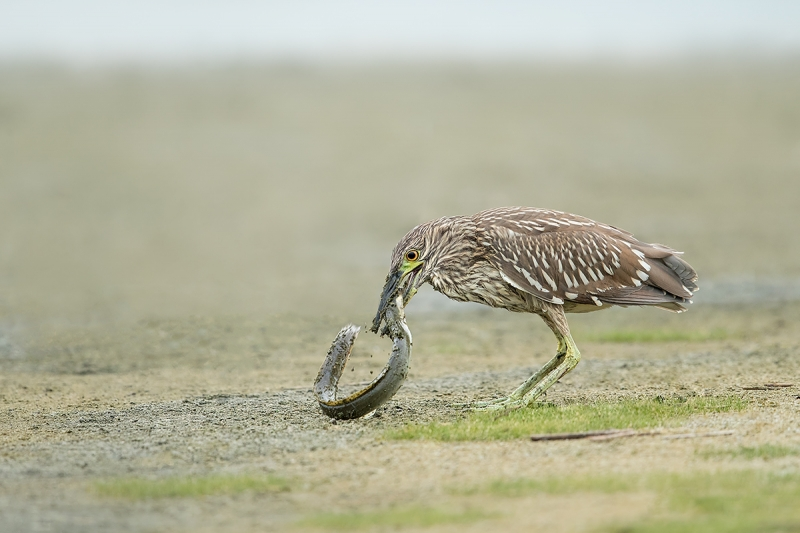 Black-crowned-Night-Heron-juvenile-with-American-Eel--_A0I8413-East-Pond,-Jamaica-Bay-WR,-Queens,-NY