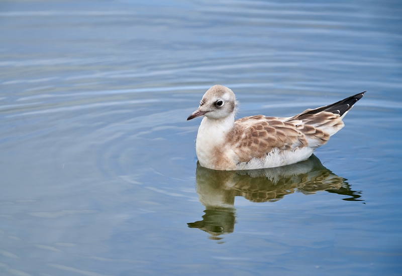 Black-headed-Gull-fledlling-swiming-_A7R6575-Seahouses-UK-1