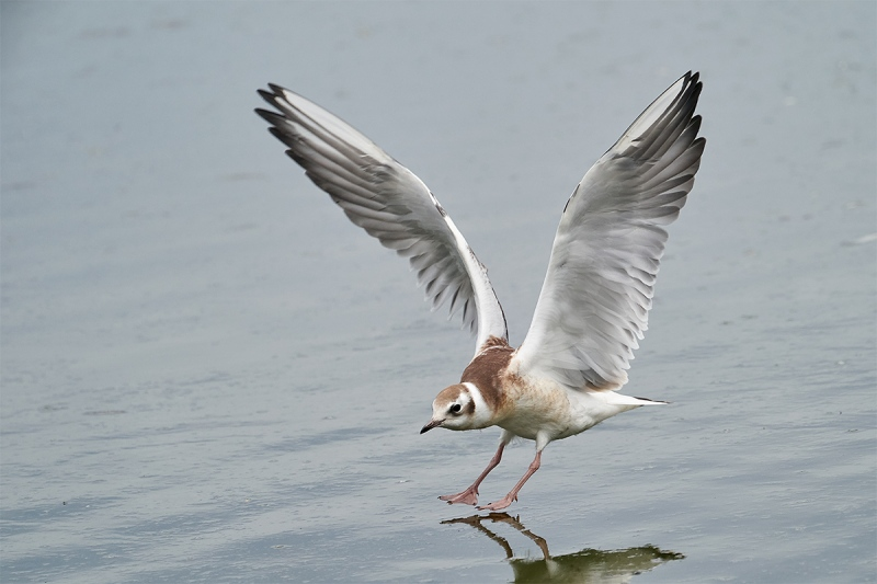 Black-headed-Gull-juvenile-landing-_A9A5012-Seahouses-UK-1