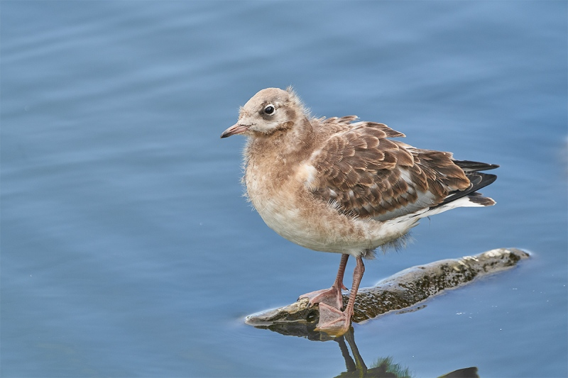 Black-headed-Gull-larege-chick-_A7R6562-Seahouses-UK-1