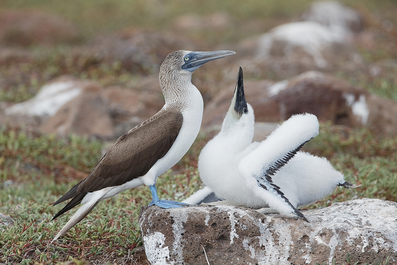Blue-footed-Booby-large-chick-begging-_09U8757--North-Seymour,-Galapagos