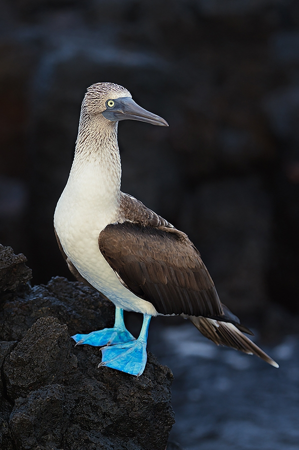Blue-footed-Booby-on-lava-rock-_W3C9656--Black-Turtle-Cove,-Galapagos,-Ecuador