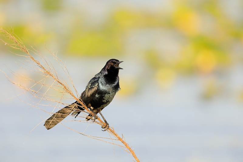 Boat-tailed-Grackle-calling--_W5A0777--Indian-Lake-Estates,-FL