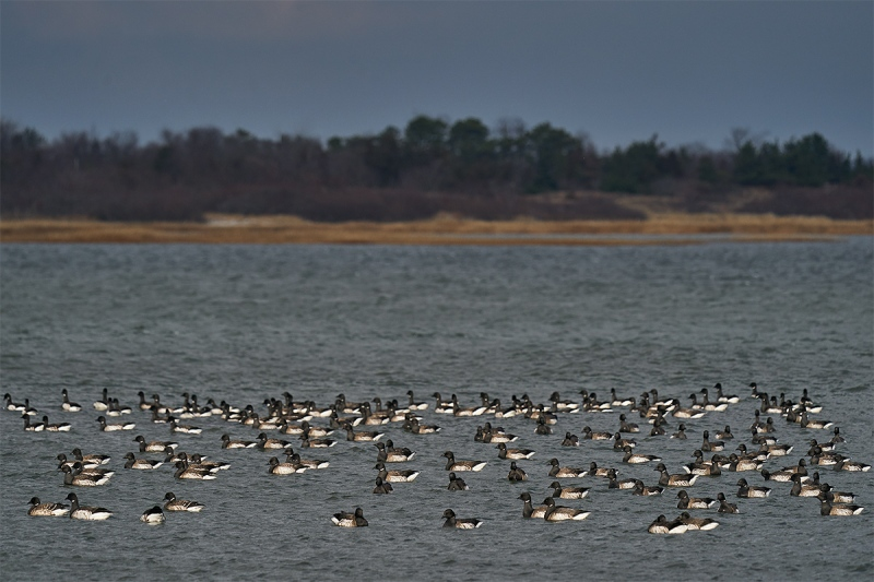 Brant-flock-in-bay-A-_A929159-Point-Lookoout-LI-NY-1