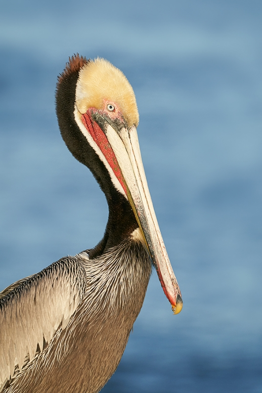 Brown-Pelican-Pacific-race-breeding-plumage-head-and-shldrs-portrait-_DSC1078--San-Diego,-CA-2