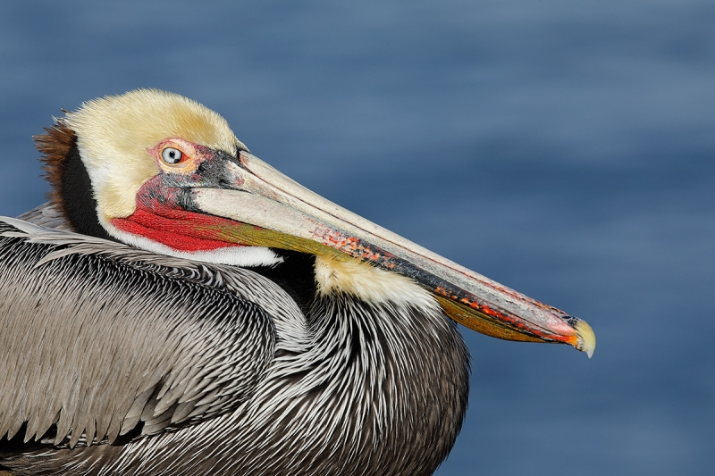 Brown-Pelican-Pacific-race-in-stunnging-breeding-plumage-_W5A9390-La-Jolla,-CA
