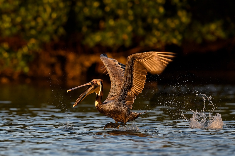 Brown-Pelican-STITCHED-PANO-taking-flight-with-bill-open-_DSC0118--Alafia-Banks,-Tampa-Bay,-FL