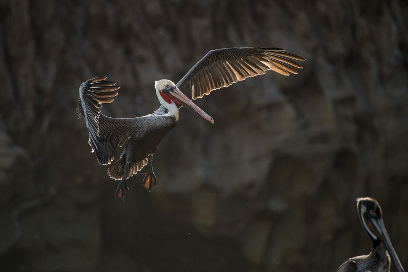 Brown-Pelican-backlit-_DSC0727--La--Jolla,-CA