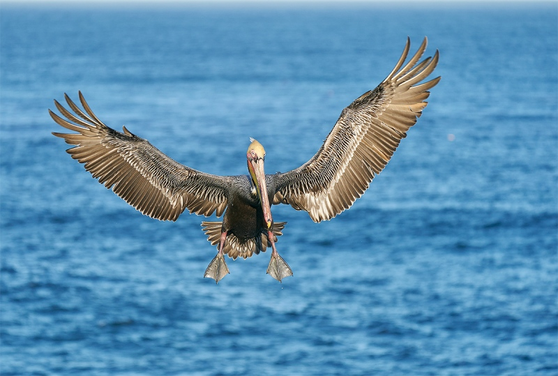 Brown-Pelican-braking-to-land-_A920700-La-Jolla-CA-1