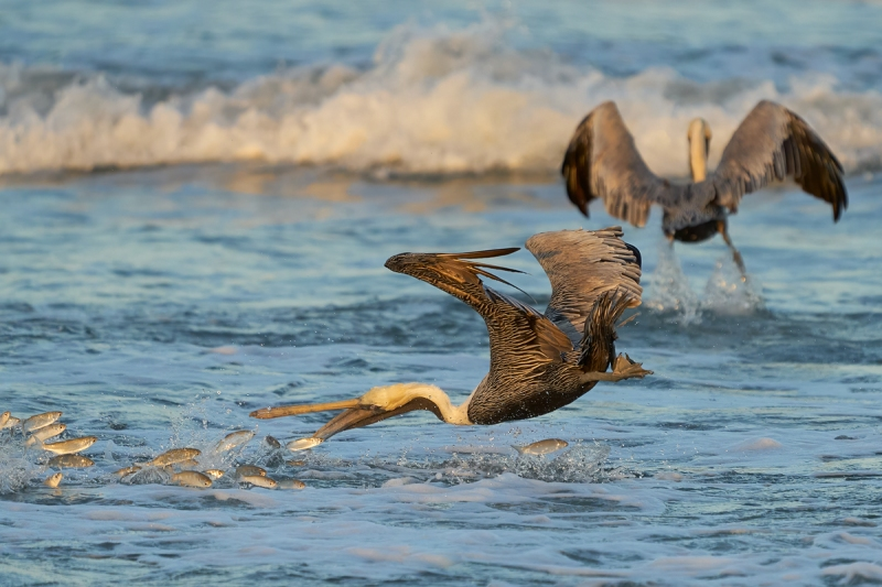 Brown-Pelican-diving-for-finger-mullet-_A938990-South-Padre-Island-Oct-2021