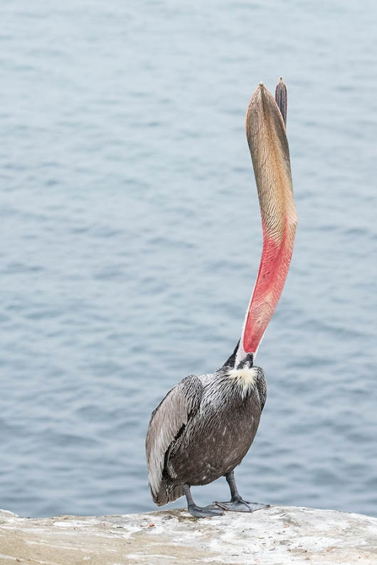 Brown-Pelican-head-throw-XT-2-_DSF1205-La-Jolla,-CA