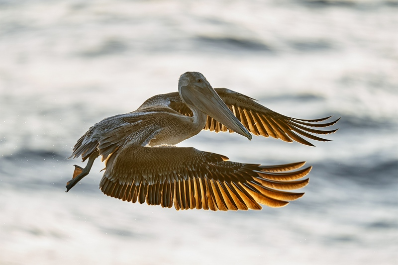 Brown-Pelican-low-light-backlit-_A929977-Sebastian-Inlet-FL-1