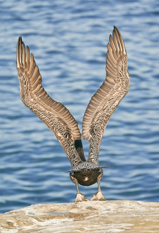Brown-Pelican-taking-flight-_DSC8418--San-Diego,-CA-1